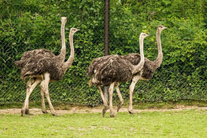Pštrosi afričtí v expozici Safari,  autor: Pavel Vlček