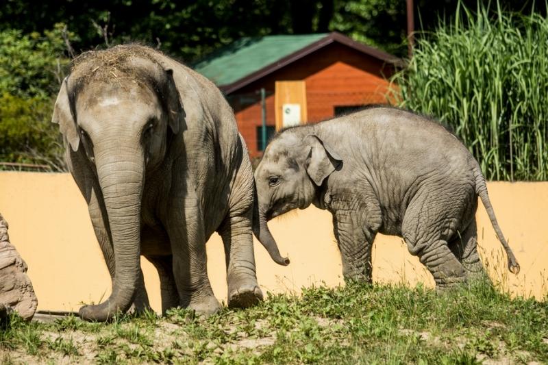 Sloni indičtí, autor: Pavel Vlček