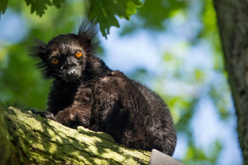 Lemur tmavý,  autor: Pavel Vlček
